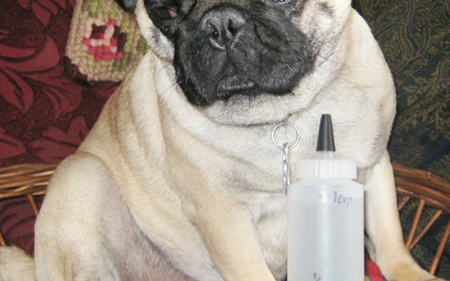 Gracie the Pug With Eye Drops
